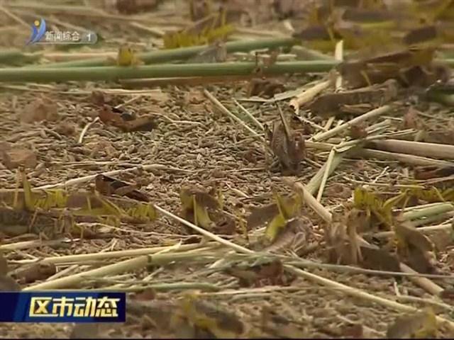 乳山:养殖蚂蚱开创脱贫致富路