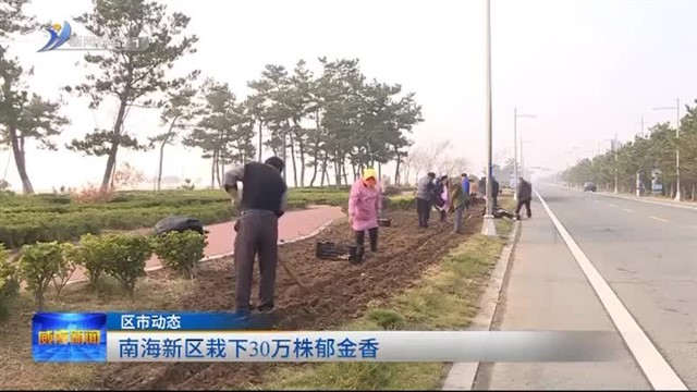 南海新区栽下30万株郁金香